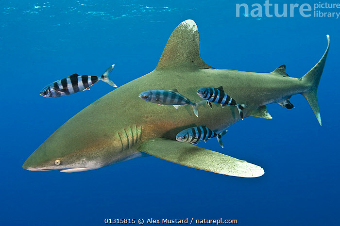 Oceanic whitetip shark (Carcharhinus longimanus) with Pilot fish (Naucrates ductor). Tropical West Atlantic Ocean, off Cat Island, Bahamas., ATLANTIC,atlantic ocean,bahamas,Carcharhindidae,CARCHARHINIFORMES,CARIBBEAN,Cat Island,catalogue3,CHONDRICHTHYES,close up,CLOSE UPS,co operation,CUTE,FISH,full length,grey,GROUPS,MARINE,marine life,medium group,medium group of animals,MIXED SPECIES,NAUCRATES DUCTOR,Nobody,OCEAN,on the move,pilot fish,SEALIFE,SHARKS,silver,STRIPED,STRIPES,SWIMMING,TROPICAL,UNDERWATER,VERTEBRATES,West Atlantic Ocean,West Indies, Alex Mustard