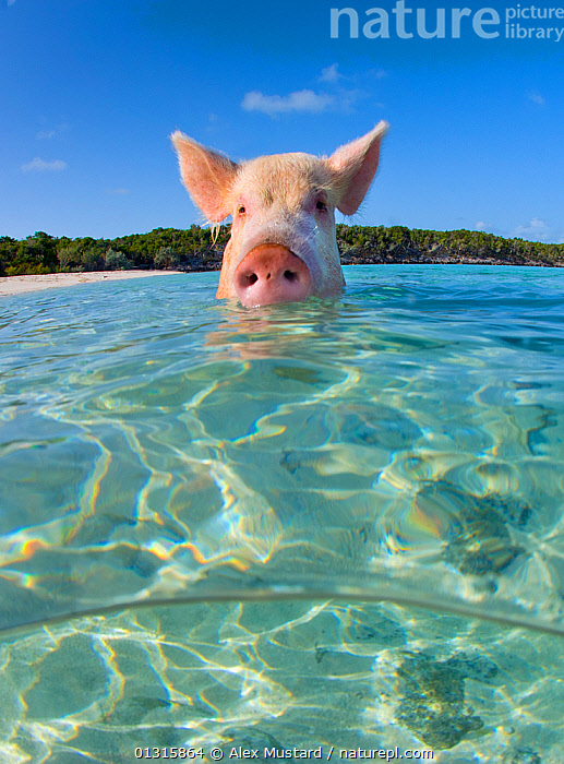 A domestic pig (Sus scrofa domestica) swimming in the sea. Exuma Cays, Bahamas. Tropical West Atlantic Ocean. This family of pigs live on this beach in the Bahamas and enjoy swimming in the sea., animal ear,animal head,ARTIODACTYLA,atlantic ocean,bahamas,BATHING,BEACHES,BEHAVIOUR,bizarre,CARIBBEAN,CATALOGUE2,EARS,Exuma Cays,front view,head above water,HEADS,HUMOROUS,humour,LIVESTOCK,MAMMALS,Nobody,NOSES,one animal,outdoors,PIGS,refraction,seas,snouts,SUIDS,SURFACE,SWIMMING,TROPICAL,VERTEBRATES,VERTICAL,view to land,water surface,WEIRD,WILDLIFE,West Indies,Concepts, Alex Mustard
