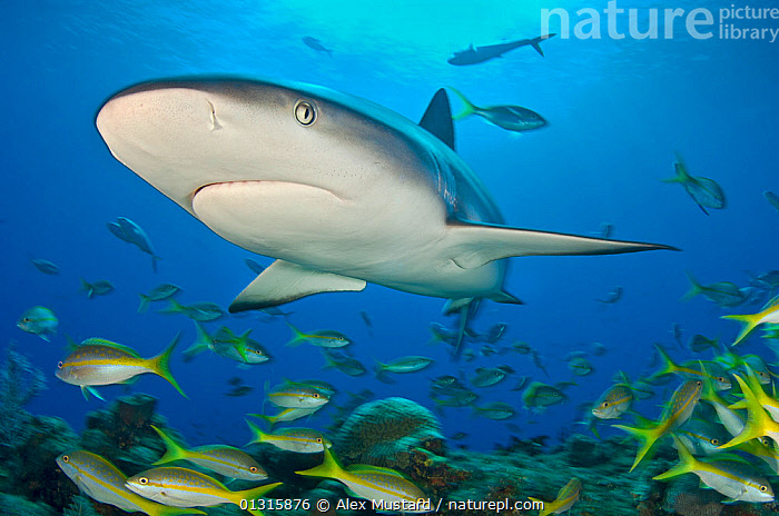 Caribbean reef shark (Carcharhinus perezi) bursts through the middle of a school of Yellowtail snappers (Ocyurus chrysurus). Grand Bahama, Bahamas. Tropical West Atlantic Ocean., ATLANTIC, bahamas, Carcharhindidae, CARCHARHINIFORMES, CARIBBEAN, CHONDRICHTHYES, FISH, GROUPS, MARINE, MIXED-SPECIES, PORTRAITS, SHARKS, SHOAL, snapper, TROPICAL, UNDERWATER, VERTEBRATES, YELLOW,West Indies, Alex Mustard