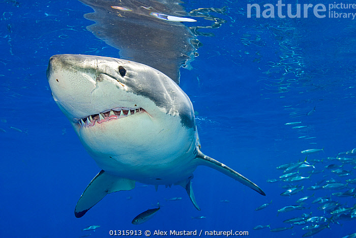Great white shark (Carcharodon carcharias) portrait, Guadalupe Island, Mexico, Pacific Ocean., animal head,animal mouth,animal teeth,bluw,cartilaginous,CATALOGUE2,CENTRAL AMERICA,CHONDRICHTHYES,close up,CLOSE UPS,danger,FISH,group of animals,GROUPS,Guadalupe Island,HEADS,LAMNIDAE,large group of animals,MACKEREL,MEXICO,mixed species,MIXED SPECIES,MOUTHS,nature,PACIFIC,PORTRAITS,reflection,scary,SEALIFE,SHARKS,TEETH,Threats,TROPICAL,UNDERWATER,VERTEBRATES,WATER, Alex Mustard