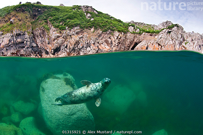 Atlantic grey seal (Halichoerus grypus) swimming beneath the surface, Lundy Island, Devon, England, UK. July 2010. Highly commended, Coast and Marine category, British Wildlife Photography Awards (BWPA) competition 2011, ATLANTIC,BEHAVIOUR,boulder,CATALOGUE2,COASTAL WATERS,COASTS,Devon,ENGLAND,EUROPE,full length,GREEN,green colour,headland,HUMOROUS,humour,looking at camera,Lundy Island,lundy island,MAMMALS,MARINE,nature,Nobody,on the move,one animal,outdoors,Phocidae,PINNIPEDS,SEALIFE,SEALS,SPLIT LEVEL,SUMMER,SWIMMING,TEMPERATE,UK,UNDERWATER,VERTEBRATES,view to land,water level,Concepts,CARNIVORES ,United Kingdom,core collection xtwox, Alex Mustard