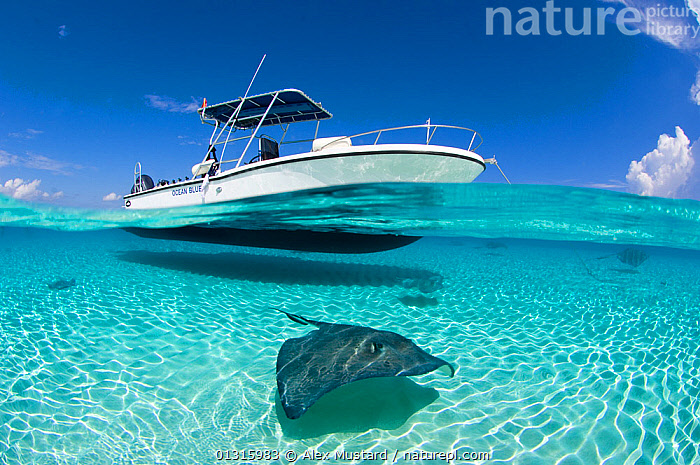 Spilt level view of a large female Southern Stingray (Hypanus americanus) beneath boat, Grand Cayman, Cayman Islands. British West Indies. Caribbean. March, blue sky,boat,BOATS,british West Indies,CARIBBEAN,CATALOGUE2,cayman islands,CHONDRICHTHYES,ELASMOBRANCHII,female animals,FEMALES,FISH,grand cayman,ISLANDS,nature,Nobody,OCEAN,one animal,outdoors,RAYS,refrection,seabed,SEALIFE,Shallow,SKY,SPLIT-LEVEL,transportation,TROPICAL,TURQUOISE,UNDERWATER,VERTEBRATES,water level,DASYATIS AMERICANA,,,, Alex Mustard