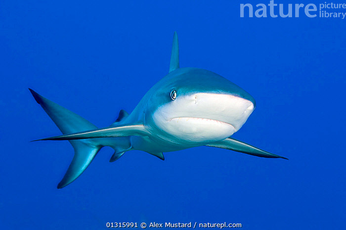 Caribbean Reef Shark (Carcharhinus perezi) portrait in blue water above a coral reef. Grand Bahama, Bahamas. March, animal head, animal portrait, ATLANTIC, bahamas, BLUE, blue background, bright colour, CARCHARHINIFORMES, caribbean sea, catalogue3, CHONDRICHTHYES, close up, CLOSE-UPS, copyspace, coral reef, CUTE, facial expression, FISH, front view, Grand Bahama, HEADS, looking at camera, MARINE, marine life, Nobody, OCEAN, one animal, PORTRAITS, SEALIFE, SHARKS, tail fin, TROPICAL, UNDERWATER, VERTEBRATES, WATER, Alex Mustard