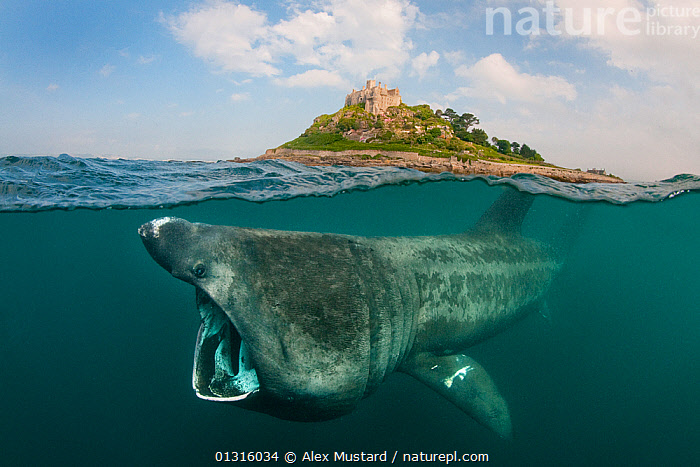A split level digital composite showing a Basking shark (Ceterhinus maximus) feeding on plankton around St Michael's Mount, Cornwall, UK. June  ,  animal behaviour,animal mouth,ATLANTIC,CATALOGUE2,CHONDRICHTHYES,cloudy,Cornwall,digital composite,ENGLAND,FEEDING,FISH,Hunger,LAMNIFORMES,MARINE,MOUTHS,nature,Nobody,OCEAN,one animal,open mouth,outdoors,plakton,SEALIFE,SHARKS,SKY,SPLIT LEVEL,St Michaels Mount,TEMPERATE,UK,UL,UNDERWATER,VERTEBRATES,water level,WEIRD,WILDLIFE,Europe,United Kingdom,core collection xtwox  ,  Alex Mustard
