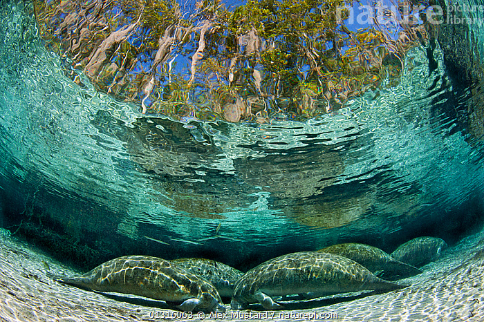 A group of Florida manatees (Trichechus manatus latirostrus) sleeping in the afternoon at Three Sisters Spring. Manatees sleep on the bottom of this shallow spring, occasionally rising to the surface to breathe. Crystal River, Florida, USA. February 2010, afternoon,BEHAVIOUR,CATALOGUE2,Crystal River,FAMILIES,five animals,Florida,FRESHWATER,low angle view,MAMMALS,MANATEES,nature,Nobody,NORTH AMERICA,PORTRAITS,refraction,river,RIVERS,SEALIFE,Shallow,SLEEPING,TEMPERATE,Three Sisters Spring,Togetherness,TREES,UNDERWATER,unusual angle,USA,VERTEBRATES,WATER,PLANTS,core collection xtwox, Alex Mustard
