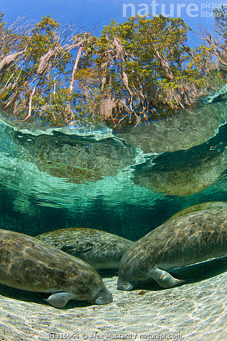 A group of Florida manatees (Trichechus manatus latirostrus) sleeping in the afternoon at Three Sisters Spring. Crystal River, Florida, USA. Manatees sleep on the bottom of the spring, floating up periodically to breathe. February 2010, animals in the wild,BEHAVIOUR,CATALOGUE2,Crystal River,FAMILIES,Florida,FRESHWATER,GROUPS,low angle view,MAMMALS,MANATEES,NORTH AMERICA,PORTRAITS,quiet,reflection,riverbed,RIVERS,sand,SLEEPING,TEMPERATE,three animals,Three Sisters Spring,Tree,UNDERWATER,unusual angle,USA,VERTEBRATES,VERTICAL,WATER,water level,WILDLIFE, Alex Mustard