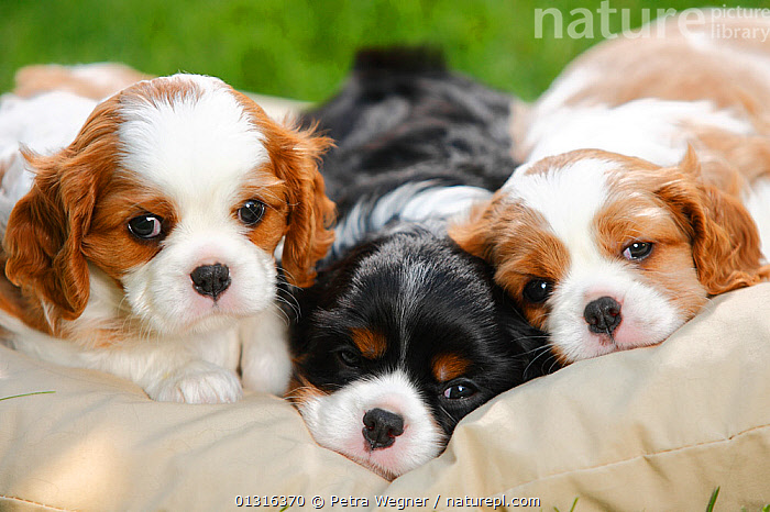 Cavalier King Charles Spaniel, three puppies resting on cushion bed, blenheim and tricolour, 5 weeks, animal marking,BABIES,BLACK,BROWN,catalogue3,Cavalier King Charles Spaniel,close up,CLOSE UPS,contrasting,contrasts,cushion,CUTE,Dog,DOGS,drowsy,looking at camera,Nobody,outdoors,PETS,puppies,puppy,RELAXATION,resting,SLEEPING,small dogs,spaniel,three animals,toy dogs,WHITE,Canids, Petra Wegner