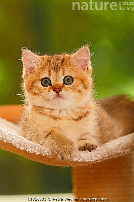 Nature Picture Library - British Shorthair Cat, kitten, golden