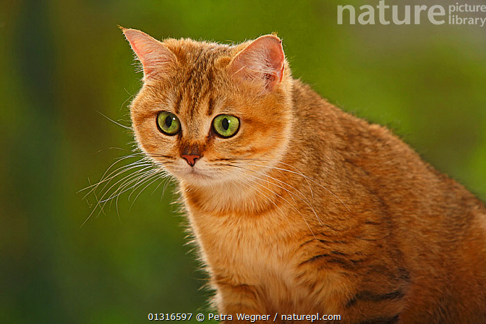 Nature Picture Library - British Shorthair Cat, golden-mackerel