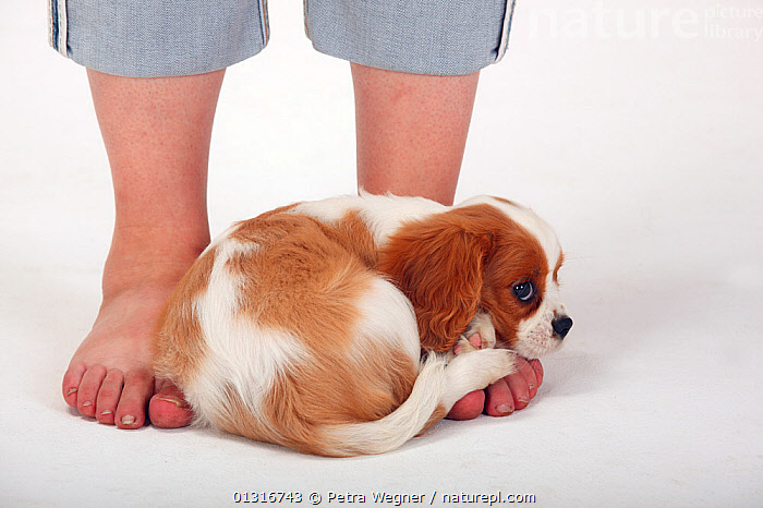 Cavalier King Charles Spaniel, puppy, blenheim coated, aged 10 weeks, curled up on human feet. Model released  ,  BABIES,barefoot,blenheim coloured,catalogue3,Caucasian,Cavalier King Charles Spaniel,close up,CLOSE UPS,curled up,CUTE,CUTOUT,DOGS,FEET,human feet,INDOORS,JUVENILE,low section,one animal,one person,outdoors,PEOPLE,PETS,PORTRAITS,puppy,rejection,rolled up trousers,sadness,safety,small dogs,spaniel,Studio,toy dogs,upset ,VERTEBRATES,white background,Canids  ,  Petra Wegner
