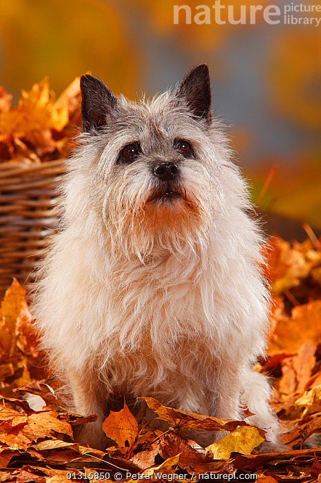 Cairn Terrier, portrait sitting in autumn foliage, aged 14 years  ,  AUTUMN,DOGS,ELDERLY,LEAVES,PETS,PORTRAITS,SITTING,SMALL DOGS,STUDIO,TERRIERS,VERTEBRATES,VERTICAL,Canids  ,  Petra Wegner