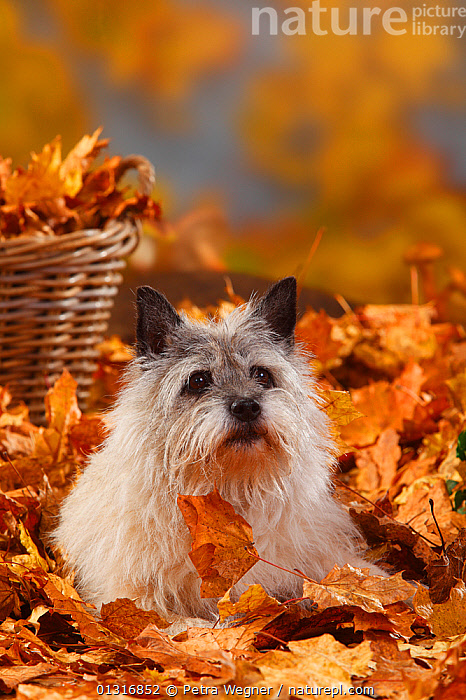 Cairn Terrier, portrait lying in autumn foliage, aged 14 years  ,  AUTUMN,DOGS,LEAVES,PETS,PORTRAITS,SITTING,SMALL DOGS,STUDIO,TERRIERS,VERTEBRATES,VERTICAL,Canids  ,  Petra Wegner