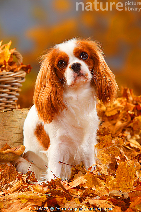Cavalier King Charles Spaniel, blenheim coated, head portrait, sitting in autumn foliage, animal head,AUTUMN,basket,blenheim coated,catalogue3,Cavalier King Charles Spaniel,close up,CLOSE UPS,DOGS,fallen leaves,foliage,HEADS,hopeful,LEAVES,Nobody,one animal,outdoors,PETS,PORTRAITS,SITTING,small dogs,spaniel,Studio,toy dogs,VERTEBRATES,VERTICAL,Vulnerable,Canids, Petra Wegner