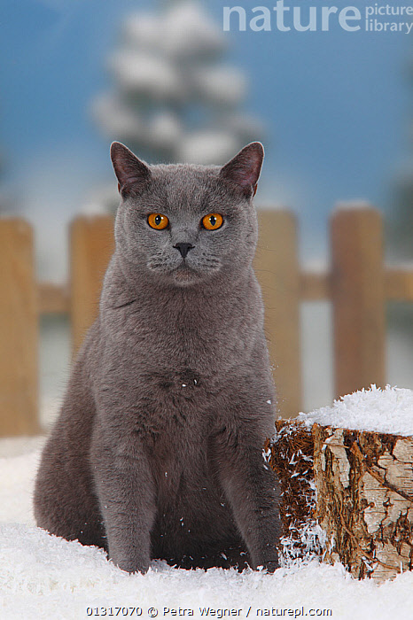 British Shorthair Cat, blue coated tomcat, sitting in snow, with picket fence behind  ,  animal portrait,blue coated,British Shorthair Cat,catalogue3,CATS,close up,CLOSE UPS,differential focus,facial expression,fences,focus on foreground,front view,grey,looking at camera,male animal,MALES,Nobody,one animal,outdoors,PETS,picket fence ,PORTRAITS,selective focus,serious,SITTING,SNOW,Studio,tomcat,VERTEBRATES,watchful,WINTER  ,  Petra Wegner