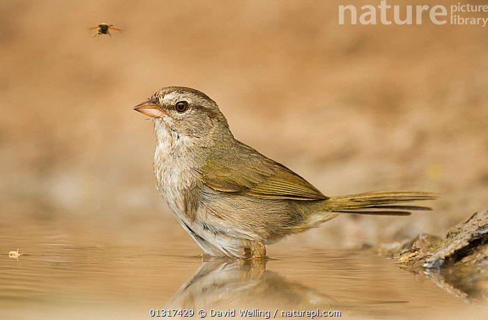 Olive Sparrow (Arremonops rufivirgatus) bathing in small pond, Star County, Texas, USA, May  ,  BATHING,BIRDS,NORTH AMERICA,OLIVE SPARROWS,PONDS,PORTRAITS,SONGBIRDS,USA,VERTEBRATES,WATER  ,  David Welling