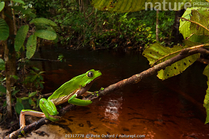 Giant leaf frog (Phyllomedusa bicolor) climbing along branch in rainforest, Iwokrama Reserve, Guyana  ,  AMPHIBIANS,anticipation,Anura,Balance,branch,catalogue3,CLIMBING,close up,CLOSE UPS,CONCENTRATION,effort,FROGS,giant monkey frog,guiana,guyana,HABITAT,HUMOROUS,humour,Iwokrama Reserve,LEAVES,nervous,Nobody,one animal,outdoors,rainforest,RESERVE,river,side view,SOUTH AMERICA,TREE FROGS,TROPICAL RAINFOREST,VERTEBRATES,WATER,WILDLIFE,Concepts  ,  Pete Oxford