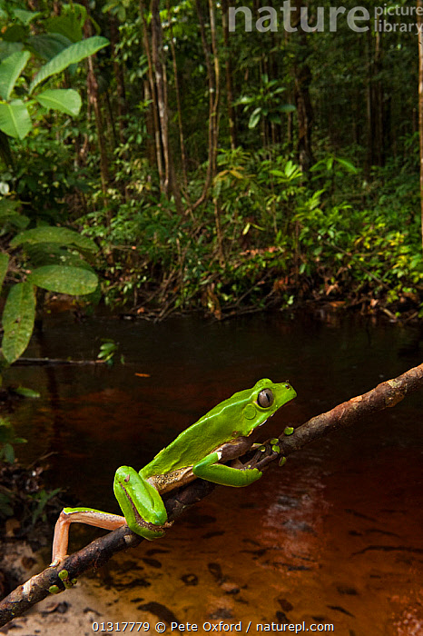 Giant leaf frog (Phyllomedusa bicolor) climbing along branch in rainforest, Iwokrama Reserve, Guyana  ,  AMPHIBIANS,anticipation,Anura,Balance,branch,catalogue3,CLIMBING,close up,CLOSE UPS,CONCENTRATION,FROGS,giant monkey frog,GREEN,guiana,guyana,HABITAT,Iwokrama Reserve,Nobody,one animal,outdoors,rainforest,river,SOUTH AMERICA,TREE FROGS,TROPICAL RAINFOREST,VERTEBRATES,VERTICAL,WATER,WILDLIFE  ,  Pete Oxford