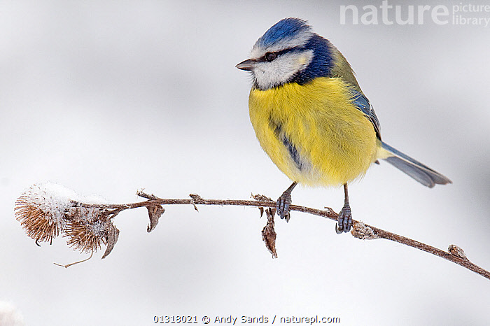 Blue tit (Parus caeruleus) on snow covered seedhead of Lesser Burdock, December, Hertfordshire, UK, BIRDS,EUROPE,PORTRAITS,SEEDS,SONGBIRDS,TITS,UK,VERTEBRATES,WINTER,United Kingdom, Andy Sands