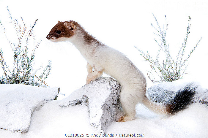 Stoat (Mustela erminea) in partial white winter ermine coat, captive, UK. British stoats rarely assume full winter ermine coast. This animal originated from Teesdale, County Durham.  ,  CAMOUFLAGE,CARNIVORES,COLOUR CHANGE,EUROPE,FUR,MAMMALS,MUSTELIDS,SNOW,UK,VERTEBRATES,WEASELS,WHITE,WINTER,United Kingdom  ,  Andy Sands