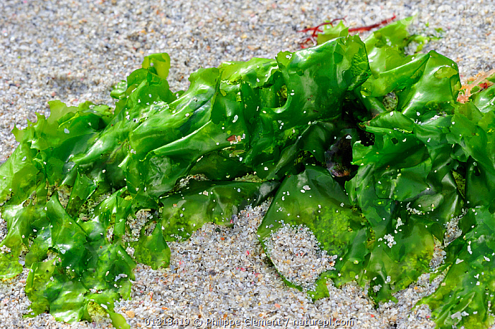 Nature Picture Library Sea Lettuce Ulva Lactuca Exposed On Beach