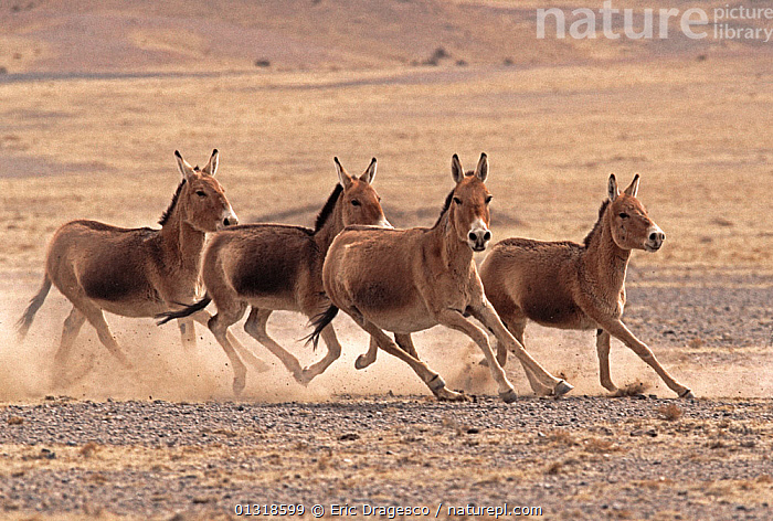 Small herd of Asiatic Wild Ass (Equus hemionus) running, Gobi National Park, Mongolia  ,  ASIA,ASSES,catalogue3,DESERTS,destination,dust,FOUR,four animals,full length,Gobi National Park,GROUPS,herd,Herds,HUMOROUS,humour,MAMMALS,MONGOLIA,Nobody,NP,outdoors,PERISSODACTYLA,RUNNING,small group,small group of animals,SPEED,VERTEBRATES,WILDLIFE,Concepts,National Park  ,  Eric Dragesco