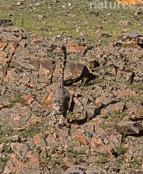 Wild female Snow Leopard (Panthera uncia) jumping, camouflaged on rocky mountainside, at an altitude of 2500m, Altai mountains, Mongolia. July  ,  ACTION,ASIA,BIG CATS,CAMOUFLAGE,CARNIVORES,ENDANGERED,FEMALES,JUMPING,LEOPARDS,MAMMALS,MONGOLIA,MOUNTAINS,MOVEMENT,RUNNING,TAILS  ,  Eric Dragesco