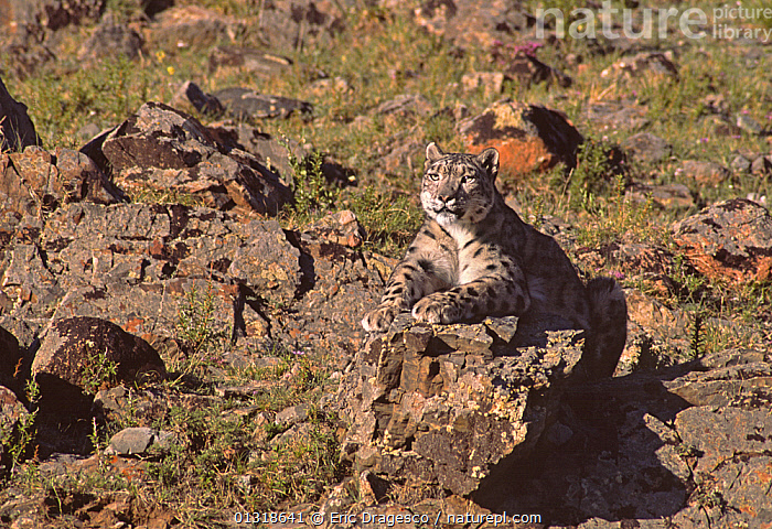 Wild female Snow Leopard (Panthera uncia) resting, camouflaged on rocky mountainside, at an altitude of 2500m, Altai mountains, Mongolia. July  ,  ASIA,BIG CATS,CAMOUFLAGE,CARNIVORES,ENDANGERED,FEMALES,LEOPARDS,LYING DOWN,MAMMALS,MONGOLIA,MOUNTAINS  ,  Eric Dragesco