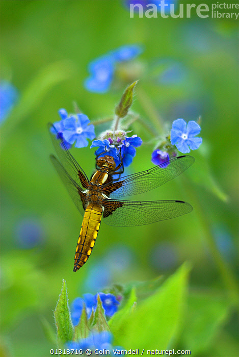 Broad-bodied chaser dragonfly (Libellula depressa) at rest on Alkanet flowers, Dorset, UK, May  ,  ARTHROPODS,BLUE,DRAGONFLIES,ENGLAND,FLOWERS,INSECTS,INVERTEBRATES,ODONATA,SPRING,UK,VERTICAL,Europe,United Kingdom  ,  Colin Varndell