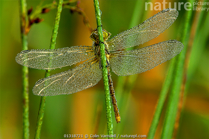Common darter dragonfly (Sympetrum striolatum) at rest, covered in dew at dawn. Powerstock Common, Dorset, UK, July  ,  ARTHROPODS,DAWN,DEW,DRAGONFLIES,ENGLAND,INSECTS,INVERTEBRATES,ODONATA,PORTRAITS,SUMMER,UK,Europe,United Kingdom  ,  Colin Varndell