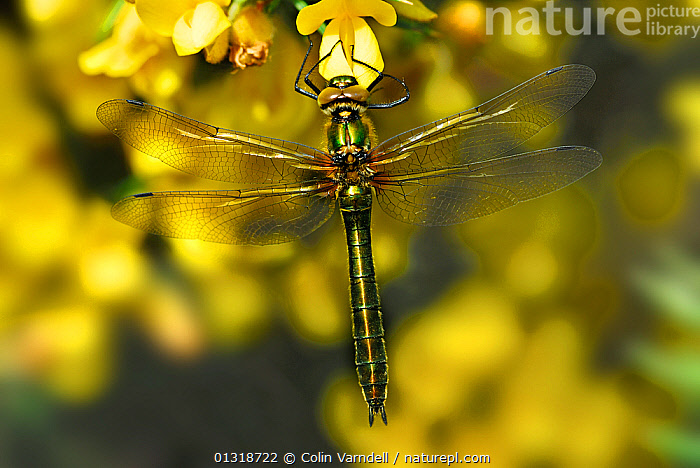 Female Downy Emerald dragonfly (Cordulia aenia) at rest on flowering Gorse (Ulex europaeus) Higher Hyde Heath, Dorset, UK. April  ,  ARTHROPODS,DRAGONFLIES,ENGLAND,FEMALES,FLOWERS,INSECTS,INVERTEBRATES,ODONATA,UK,ULEX EUROPAEUS,YELLOW,Europe,United Kingdom  ,  Colin Varndell