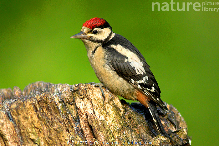Juvenile Great Spotted Woodpecker (Dendrocopos major) perched on tree stump, Dorset, UK, June  ,  BIRDS,ENGLAND,JUVENILE,PORTRAITS,SUMMER,UK,VERTEBRATES,WOODPECKER,WOODPECKERS,Europe,United Kingdom  ,  Colin Varndell