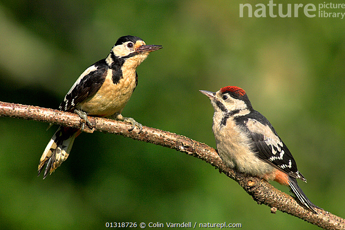 Juvenile Great Spotted Woodpecker (Dendrocopos major) with adult, perched on tree branch, Dorset, UK, June  ,  BIRDS,ENGLAND,JUVENILE,TWO,UK,VERTEBRATES,WOODPECKER,WOODPECKERS,Europe,United Kingdom  ,  Colin Varndell
