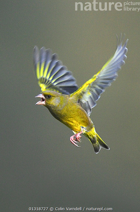 Male Greenfinch (Carduelus chloris) in flight, calling Dorset, UK, February  ,  AGGRESSION,anger,animal portrait,BIRDS,CALLING,catalogue3,close up,CLOSE UPS,copyspace,Dorset,ENGLAND,FINCHES,flight,FLYING,full length,grey,male animal,MALES,Nobody,one animal,outdoors,PORTRAITS,side view,songbirds,UK,VERTEBRATES,VERTICAL,VOCALISATION,WILDLIFE,wings spread,YELLOW,Europe,United Kingdom  ,  Colin Varndell