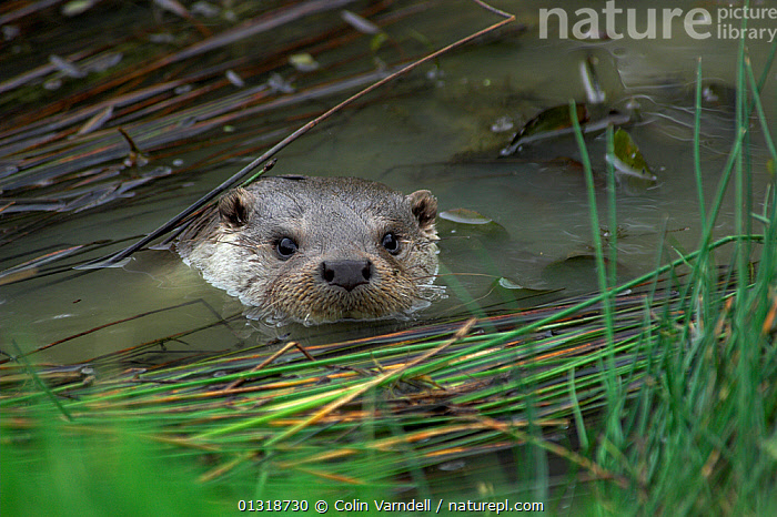European River Otter (Lutra lutra) in fresh water. Captive. UK  ,  CARNIVORES,ENGLAND,MAMMALS,MUSTELIDS,OTTERS,SWIMMING,UK,VERTEBRATES,WATER,Europe,United Kingdom  ,  Colin Varndell