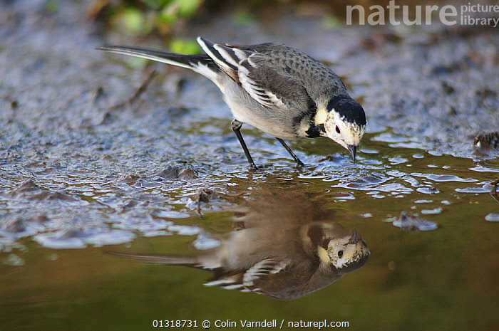 Pied wagtail (Motacilla alba yarrellii) in stream, with reflections, Dorset, UK December  ,  BIRDS,ENGLAND,MOTACILLA,REFLECTIONS,SONGBIRDS,STREAMS,UK,VERTEBRATES,WAGTAIL,WAGTAILS,WATER,WINTER,Europe,United Kingdom  ,  Colin Varndell