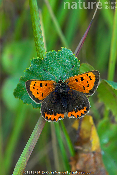 Small Copper (Lycaena phlaeas) at rest with wings open, Dorset, UK October  ,  ARTHROPODS,AUTUMN,BUTTERFLIES,ENGLAND,INSECTS,INVERTEBRATES,LEPIDOPTERA,UK,VERTICAL,Europe,United Kingdom  ,  Colin Varndell