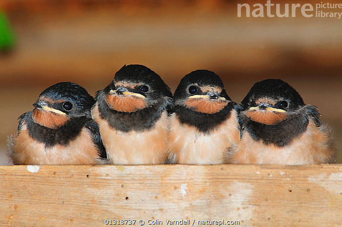 Four Barn Swallow chicks (Hirundo rustica) fledglings, waiting to be fed in barn. Dorset, UK August  ,  BABIES,BIRDS,BUILDINGS,CHICKS,ENGLAND,FLEDGELING,FOUR,HUNGRY,PORTRAITS,SONGBIRDS,SUMMER,SWALLOWS,UK,VERTEBRATES,Europe,Concepts,United Kingdom  ,  Colin Varndell