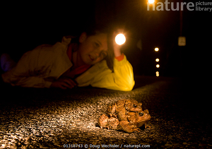 Girl watching male and female American toads (Bufo americanus) in amplexus crossing road at night; Philadelphia, Pennsylvania, USA. March  ,  AMPHIBIANS, Anura, CHILDREN, CONSERVATION, COPULATION, ENVIRONMENTAL, MALE-FEMALE-PAIR, MATING-BEHAVIOUR, NIGHT, pa, PEOPLE, ROADS, TOADS, USA, VERTEBRATES,Reproduction,North America  ,  Doug Wechsler