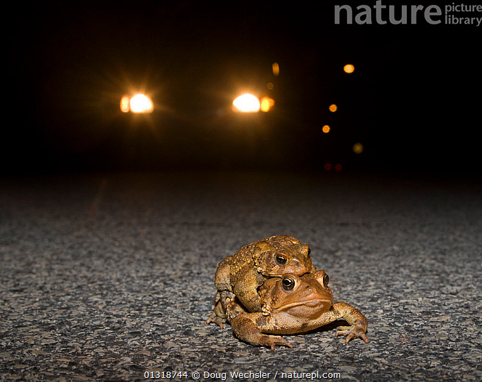 Male and female American toads (Bufo americanus) in amplexus on road at night, with car headlights behind. Philadelphia, Pennsylvania, USA. March  ,  AMPHIBIANS, Anura, COPULATION, danger, ENVIRONMENTAL, MALE-FEMALE-PAIR, MATING-BEHAVIOUR, NIGHT, pa, ROADS, TOADS, USA, VERTEBRATES,Reproduction,North America  ,  Doug Wechsler