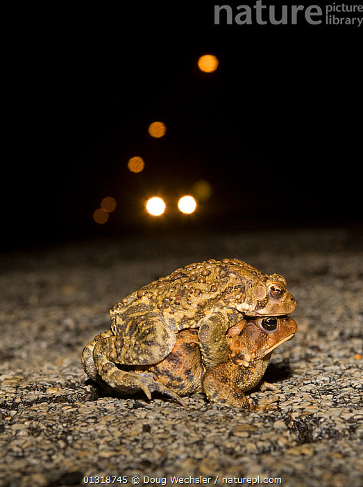 Male and female American toads (Bufo americanus) in amplexus on road at night, with car headlights behind. Philadelphia, Pennsylvania, USA  ,  AMPHIBIANS, Anura, COPULATION, danger, ENVIRONMENTAL, MALE-FEMALE-PAIR, MATING-BEHAVIOUR, NIGHT, pa, ROADS, TOADS, USA, VERTEBRATES, VERTICAL,Reproduction,North America  ,  Doug Wechsler