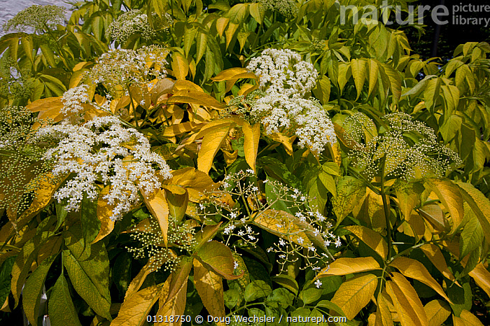 American elderberry (Sambucus canadensis) in flower. Philadelphia, PA, USA  ,  CAPRIFOLIACEAE,DICOTYLEDONS,FLOWERS,LEAVES,PLANTS,USA,WHITE,North America  ,  Doug Wechsler