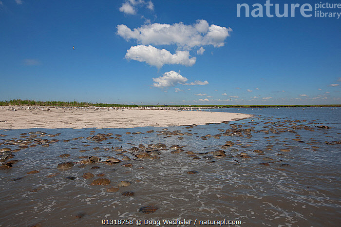 Horseshoe crabs (Limulus polyphemus) gathering to spawn, and gulls gathering to eat the eggs. Delaware Bay, NJ, USA. May  ,  ARTHROPODS,BEACHES,COASTS,GROUPS,HORSESHOE CRABS,INVERTEBRATES,LANDSCAPES,MARINE,MASS,MATING BEHAVIOUR,MIXED SPECIES,USA,North America  ,  Doug Wechsler