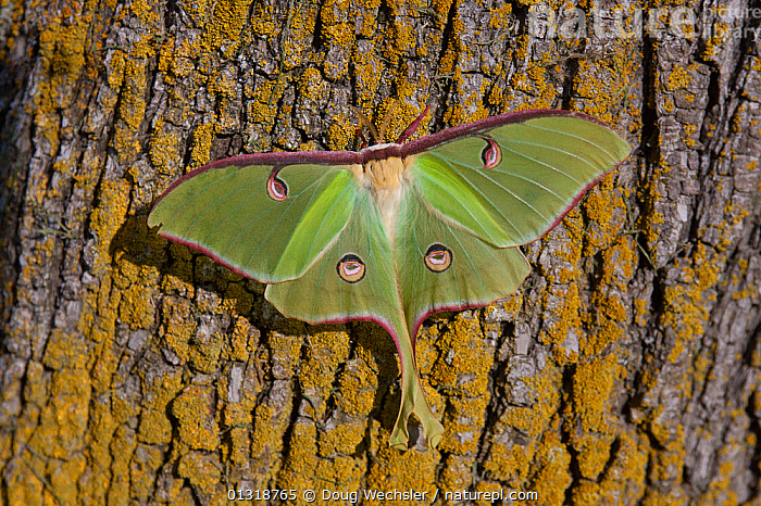 American moon moth / Luna moth (Actias luna) male on tree bark. Rocky Mount, NC, USA  ,  BARK,EMPEROR MOTHS,GREEN,INSECTS,INVERTEBRATES,LEPIDOPTERA,LICHEN,MOTHS,PORTRAITS,USA,Plants,North America  ,  Doug Wechsler