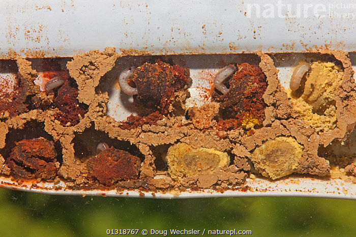 Mason bee (Osmia sp) mud nest showing chambers and larvae. Penn Valley, PA, USA  ,  ARTHROPODS,BEES,CHAMBER,GRUBS,HYMENOPTERA,INSECTS,INVERTEBRATES,LARVAE,NESTS,POLLEN,USA,North America  ,  Doug Wechsler