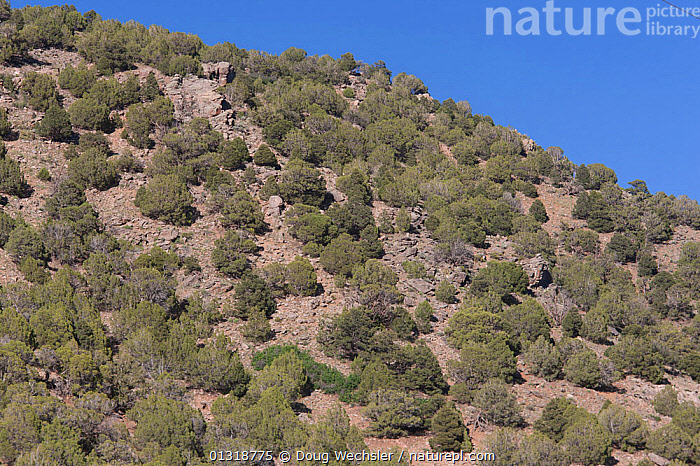 Pinyon-Juniper woodland composed of Pinyon pine (Pinus edulis) and juniper species. Unaweep Canyon, CO, USA  ,  HABITAT,JUNIPERS,JUNIPERUS,LANDSCAPES,NORTH AMERICA,PINACEAE,PINES,PINUS,PLANTS,TREES,USA,WOODLANDS  ,  Doug Wechsler