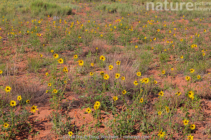 Prairie sunflowers (Helianthus petiolaris). Canyonlands National Park, Utah, USA. June  ,  ASTERACEAE,COMPOSITAE,DICOTYLEDONS,FLOWERS,GROUPS,PLANTS,USA,YELLOW,North America  ,  Doug Wechsler