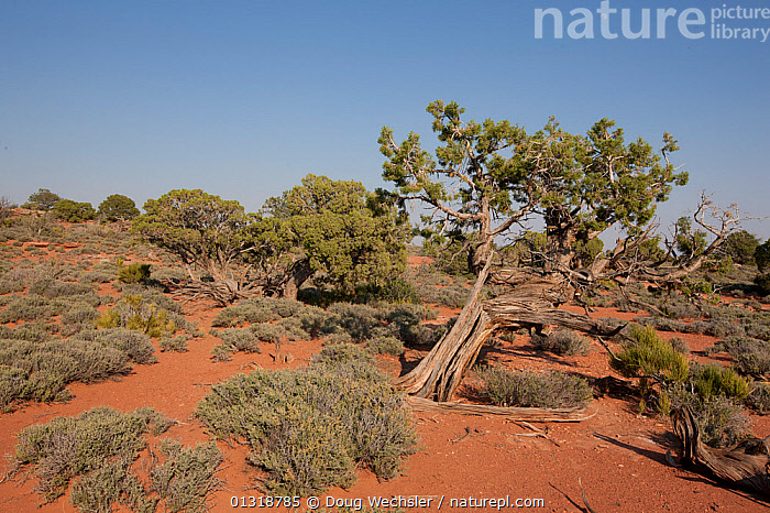 Utah juniper (Juniperus utahensis). Canyonlands National Park, Utah, USA  ,  CONFIERS,GYMNOSPERMS,LANDSCAPES,PINACEAE,PINES,PLANTS,STEPPE,TREES,USA,Grassland,North America  ,  Doug Wechsler