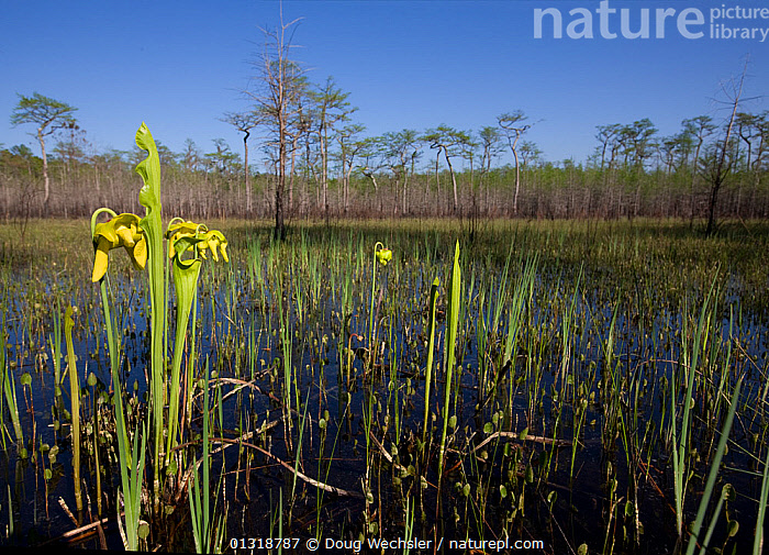 Yellow pitcher plant (Sarracenia flava) showing leaf trap and flowers, growing in water in a Carolina bay. South Carolina, USA. April  ,  CARNIVOROUS,DICOTYLEDONS,FLOWERS,INSECTIVOROUS,LAKES,PLANTS,SARRACENIACEAE,USA,WETLANDS,YELLOW,North America  ,  Doug Wechsler