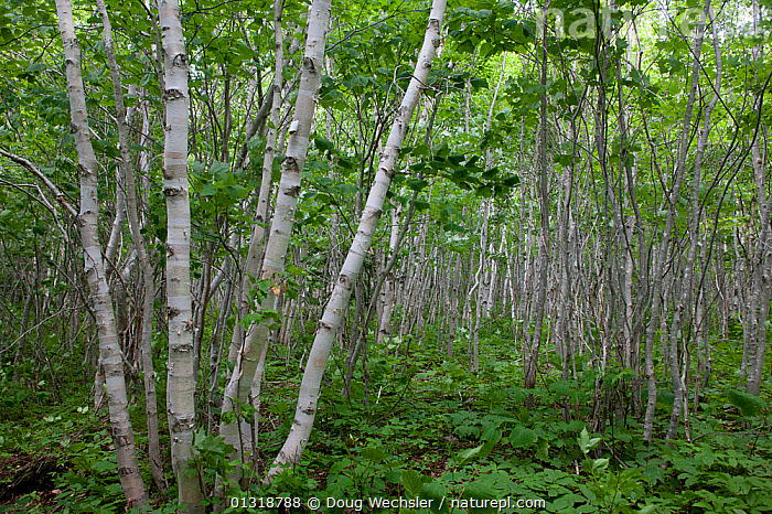 Paper birch stand (Betula papyrifera). Nova Scotia, Canada. August  ,  BETULACEAE,CANADA,DICOTYLEDONS,FORESTS,PLANTS,TREES,WOODLANDS,North America  ,  Doug Wechsler