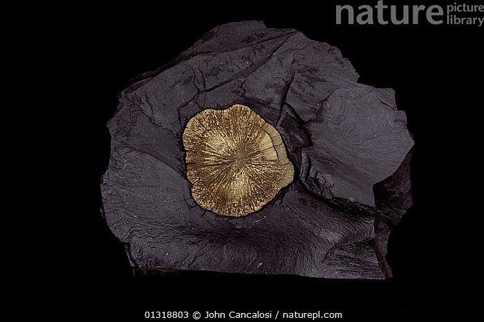 """Pyrite [FeS2 / Iron sulphide] from Illinois, USA.  """"Pyrite sun"""" or """" pyrite dollar"""", popularly known as """"fool's gold"""" - Formery used in the production of sulphuric acid  ,  CRYSTALS,GEOLOGY,MINERALS,ROCKS,USA,North America  ,  John Cancalosi"""
